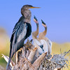 Anhinga nest - Some PhotoShop enhancements