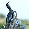 Anhinga nest  - Listen to me
