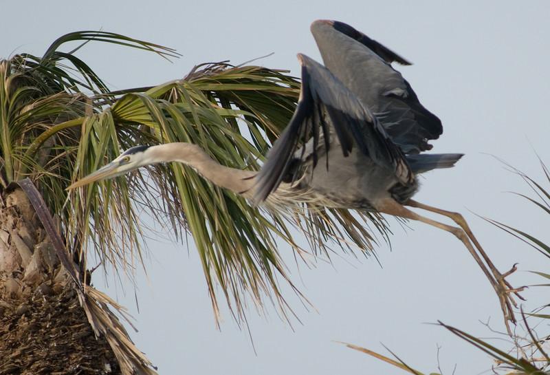 Great Blue Heron Nest - In Flight