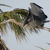 Great Blue Heron Nest - In Flight