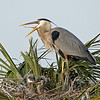 Great Blue Heron Nest - You chicks need to listen to me