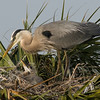 Great Blue Heron Nest - OK I'll be good