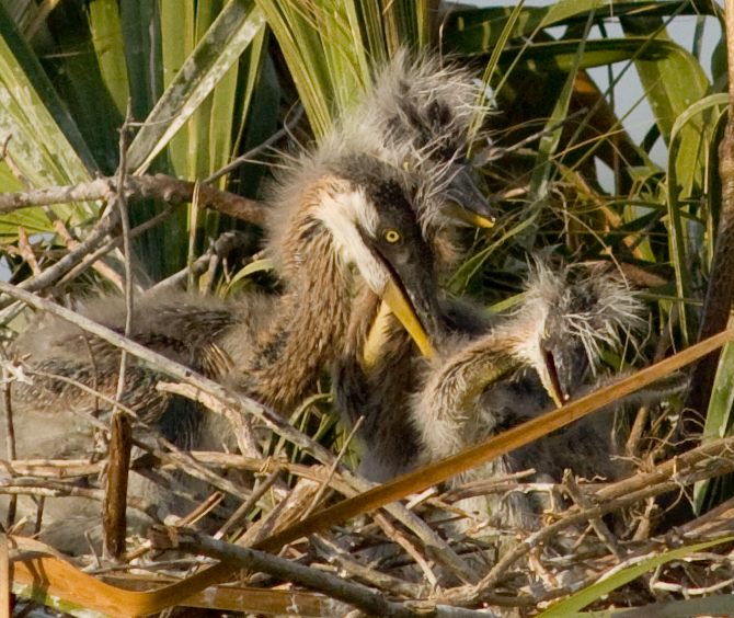 Great Blue Heron Nest You can see 3 chicks.  The one on the right is not going to make it because it is half the size of the other 2.