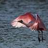 Roseate Spoonbill - Back-lighting in Flight
