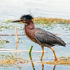 Green Heron with a bad hair day. This was taken at the Viera Wetlands
