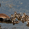 Black-bellied Whistling Ducks with her ducklings.  This was taken at the Viera Wetlands
