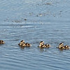 Black-bleelied Whistling Ducks with her 11 ducklings. This was taken at the Viera Wetlands