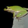 Squirrel Treefrog that was taken at Merritt Island Wildlife Black Point Drive