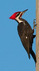 Pileated Woodpecker taken with my 500mm lens