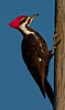 Pileated Woodpecker taken with my 500mm lens and 2X Teleconverter