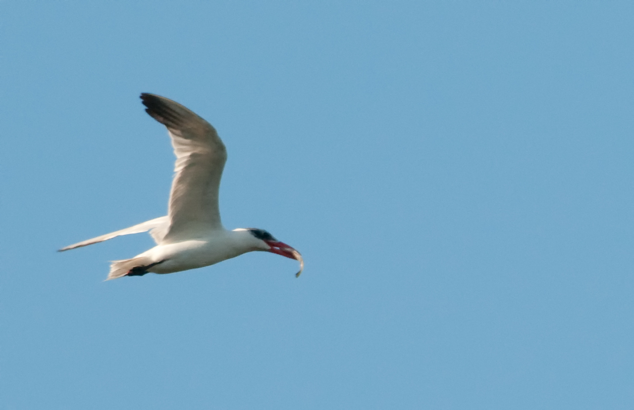 Caspian Tern in flight with a fish
