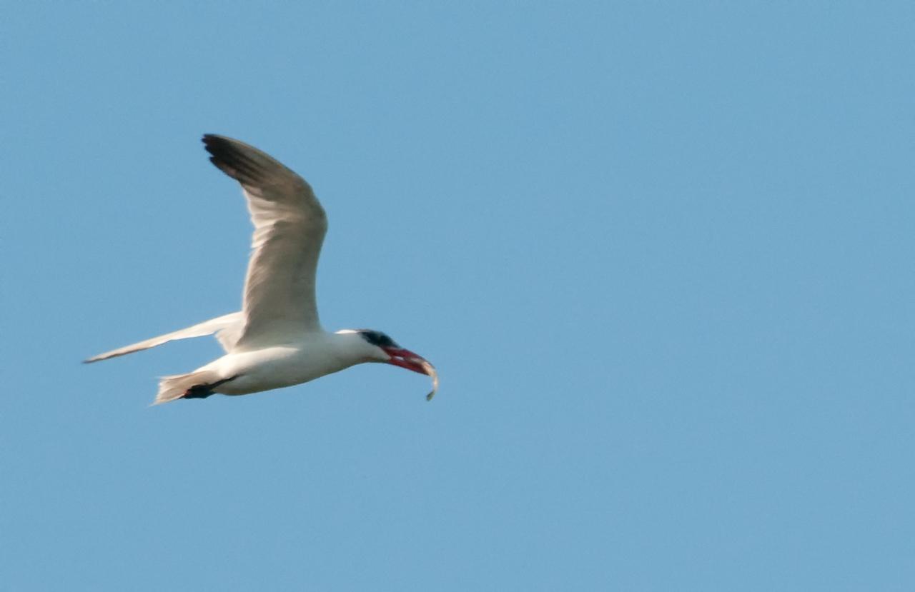 Caspian Tern in flight with a fish
