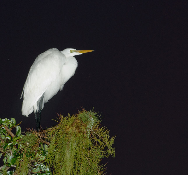 Great Egret -  I used a flash on this photo