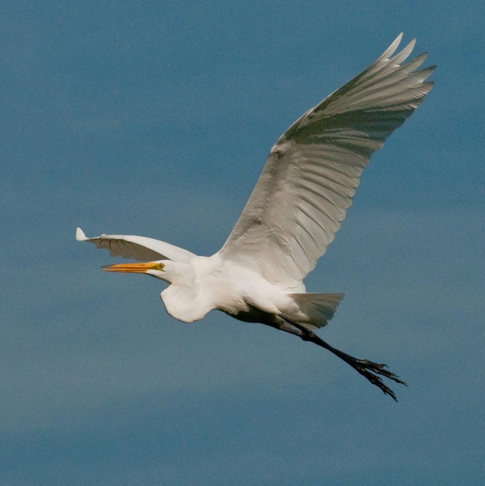 Long Key Nature Center 090905 - Great Egret In Flight