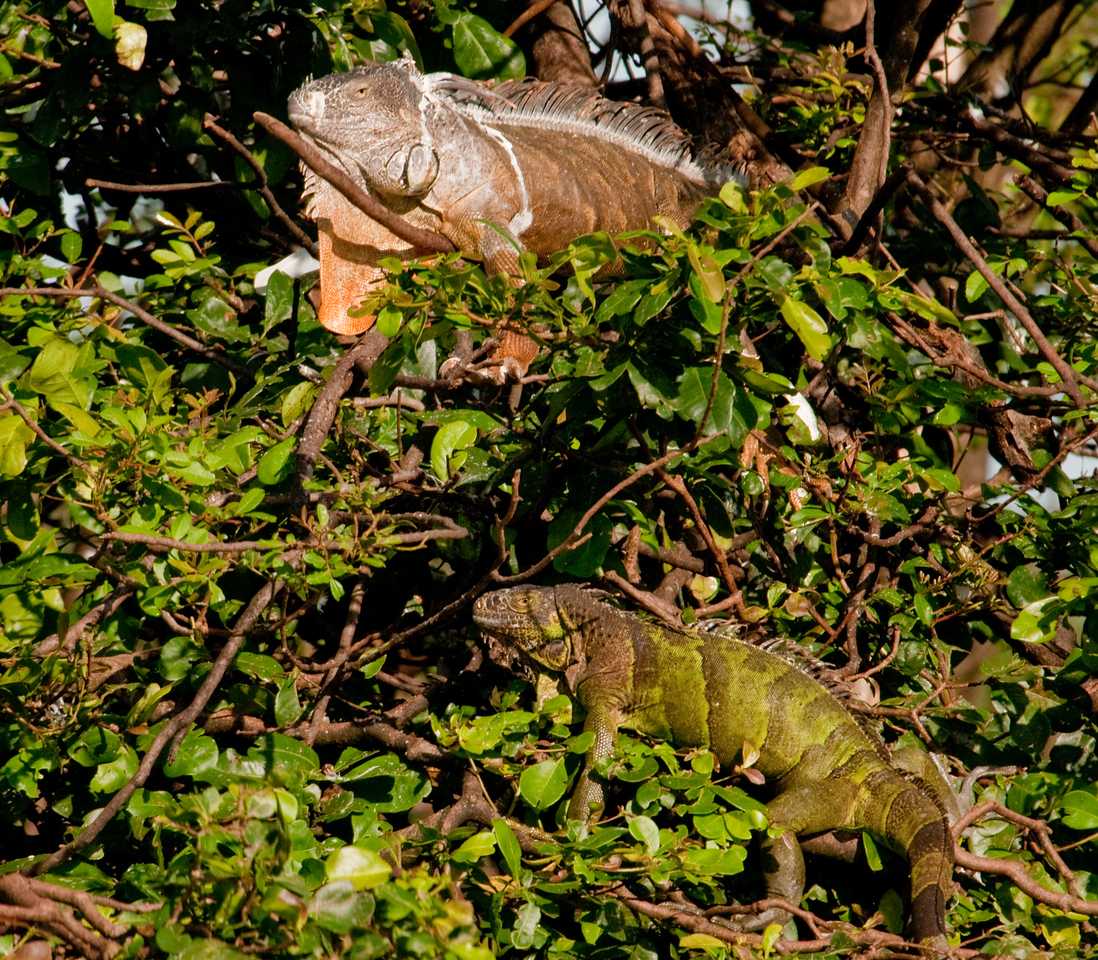 Long Key Nature Center 090905 - Two Green Iguana