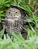 Brain Piccolo Park 090905  - Burrowing Owl - Who's out there?