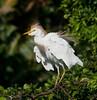 Long Key Nature Center 090905 - Cattle Egret