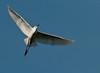 Long Key Nature Center 090905 - Snowy Egret  In Flight