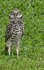 Brain Piccolo Park 090905  - Burrowing Owl - I got my eye on you!