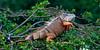 Long Key Nature Center 090905 - Green Iguana