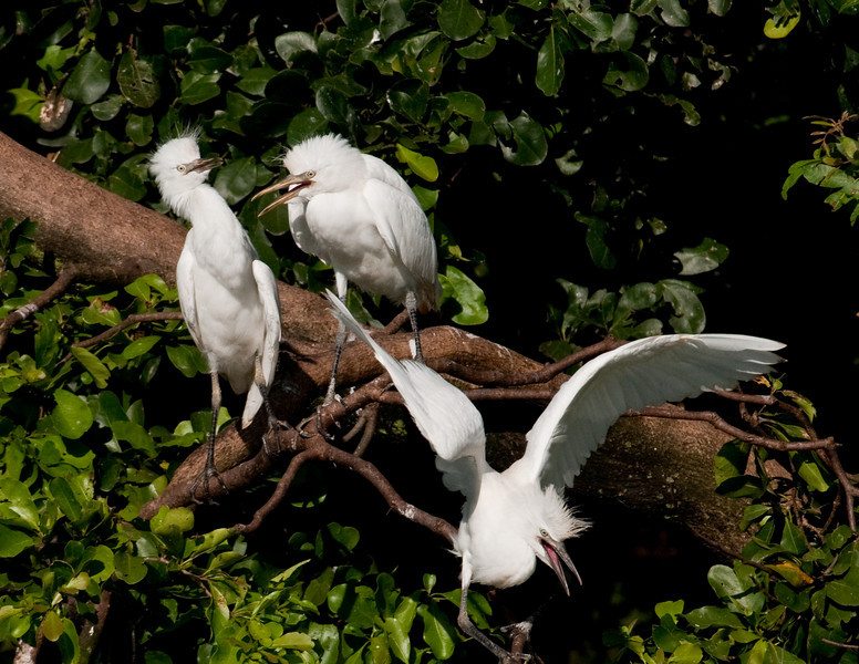 Long Key Nature Center 090905 - Snowy Egrets in a squabble
