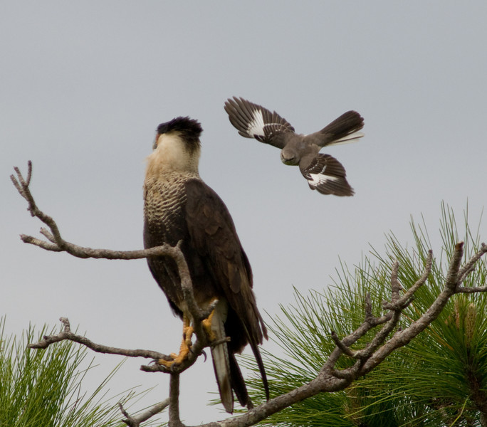 Crested Caracara and Northern Mockingbird - Coming in for the Attack