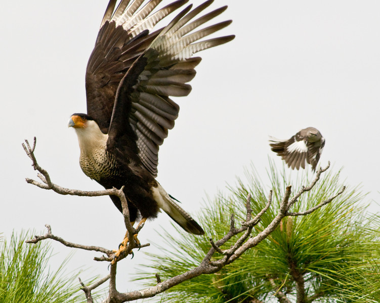 Crested Caracara and Northern Mockingbird - I'm out of here