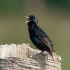 European Starling - Come get me