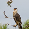 Crested Caracara and Northern Mockingbird - I like to bother you