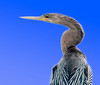 Anhinga - The blue came from Photoshop since I was shooting into the sun.