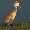 Viera Wetlands - Sandhill Crane chick