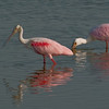 Viera Wetlands back Click Pond  - Roseate Spoonbill