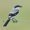 Moccasin Island Tract - Loggerhead Shrike on the wire