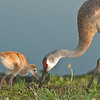 Viera Wetlands - Sandhill Crane with their chick - Follow my lead