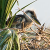 Click Ponds - Great Blue Heron Chick