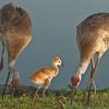 Viera Wetlands - Sandhill Crane with their chick
