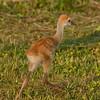 Viera Wetlands - Sandhill Crane Chick - Off I go