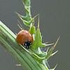Moccasin Island Tract, Ladybug