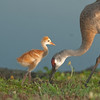 Viera Wetlands - Sandhill Crane with their chick