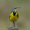 Moccasin Island Tract - Eastern Meadowlark