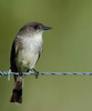 Eastern Phoebe - This was taken with my 500mm lens and 2X Teleconverter