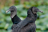 Black Vulture - Two  heads are better than one! - The bird on the right, with the feathers surrounding the face, is a hatch-year bird, and the bird on the left is more adult. Black Vultures lose some of the head feathers after their first year.