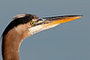 Close-up of a Great Blue Heron - This was taken with my 500mm lens and 2X Teleconverter