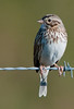 Savannah Sparrow - This was taken with my 500mm lens and 2X Teleconverter