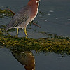 Green Heron Reflection
