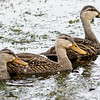 Mottled Ducks - Follow the leader