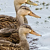 Mottled Ducks - The Line-up