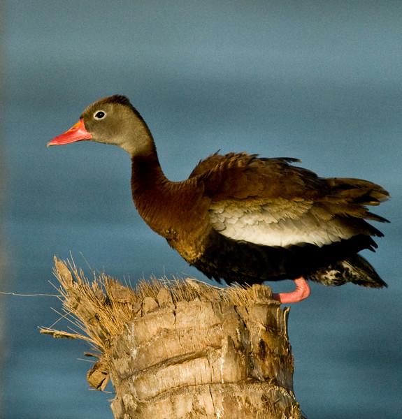 Black-Bellied Whistling Duck - Little shaking going on