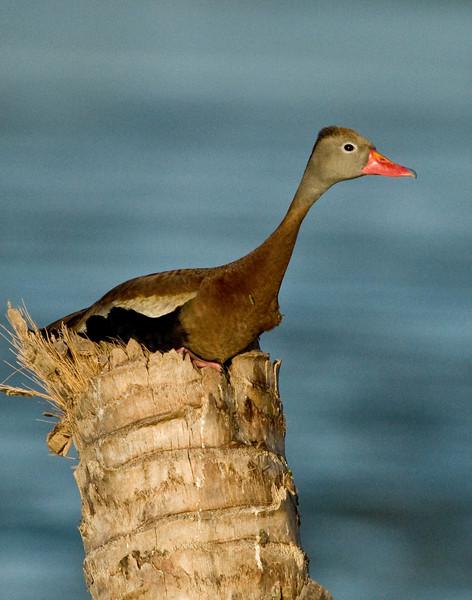 Black-Bellied Whistling Duck - Just taking it easy