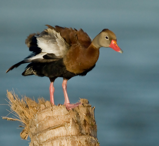 Black-Bellied Whistling Duck - Little shaking going on